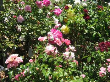 Mount Gambier Locality List  Image . This photo sponsored by Rose Supplier Category.
