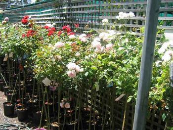 Rose Supplier Listing